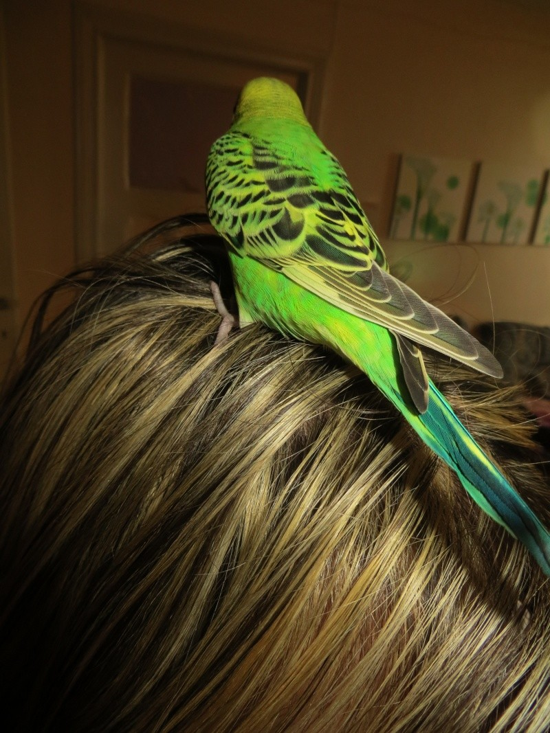 "Ma perruche ""Petit Oiseau"" mâle ou femelle? Img_1113"