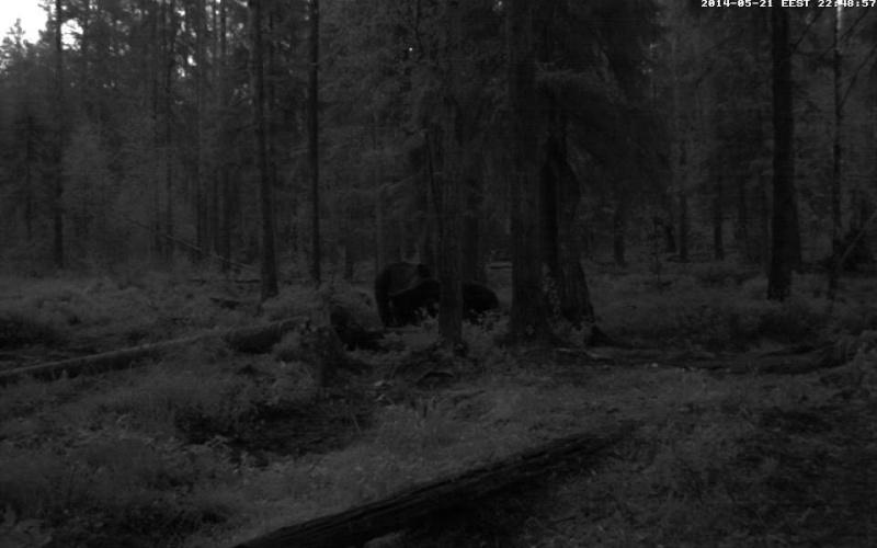 Alataguse Bear Cam 2013 - Page 5 Vlcsn169