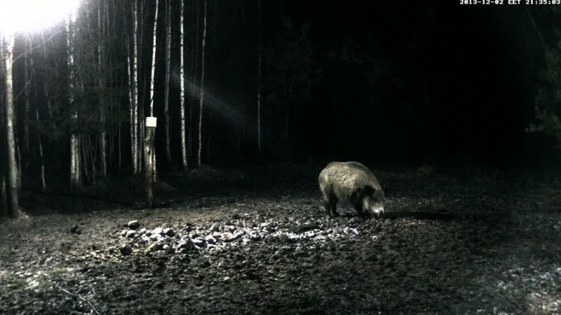 Boars Cam, Winter 2013 - 2014 Vlcsna16