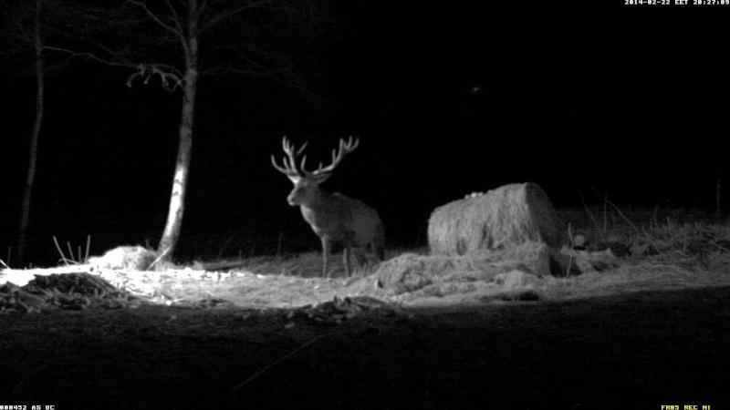 Red Deer Cam (Saarema Island)  Vlcsna47