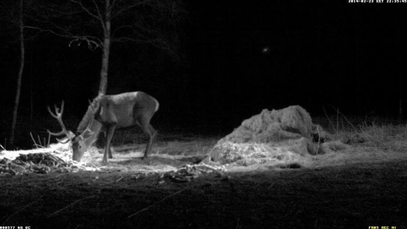 Red Deer Cam (Saarema Island)  Vlcsna53