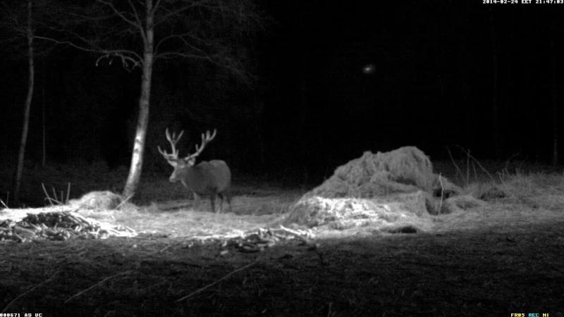 Red Deer Cam (Saarema Island)  Vlcsna56