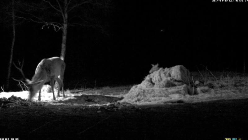 Red Deer Cam (Saarema Island)  - Page 2 Vlcsna66