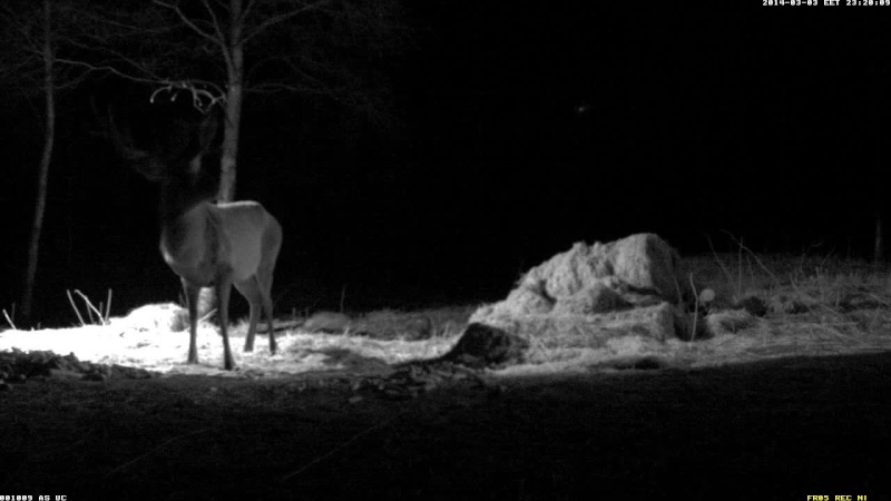Red Deer Cam (Saarema Island)  - Page 3 Vlcsna74