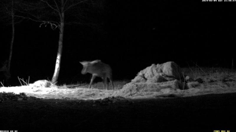 Red Deer Cam (Saarema Island)  - Page 3 Vlcsna76