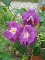 quelques floraisons Florai16