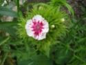 quelques floraisons Florai17