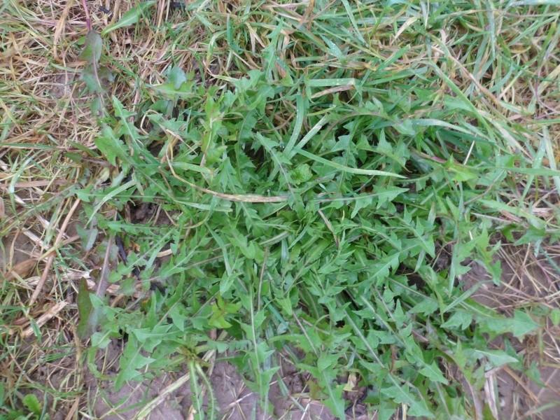 Identifier les rosettes basales Sam_2619