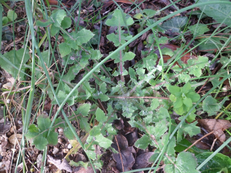 Identifier les rosettes basales Sam_2626
