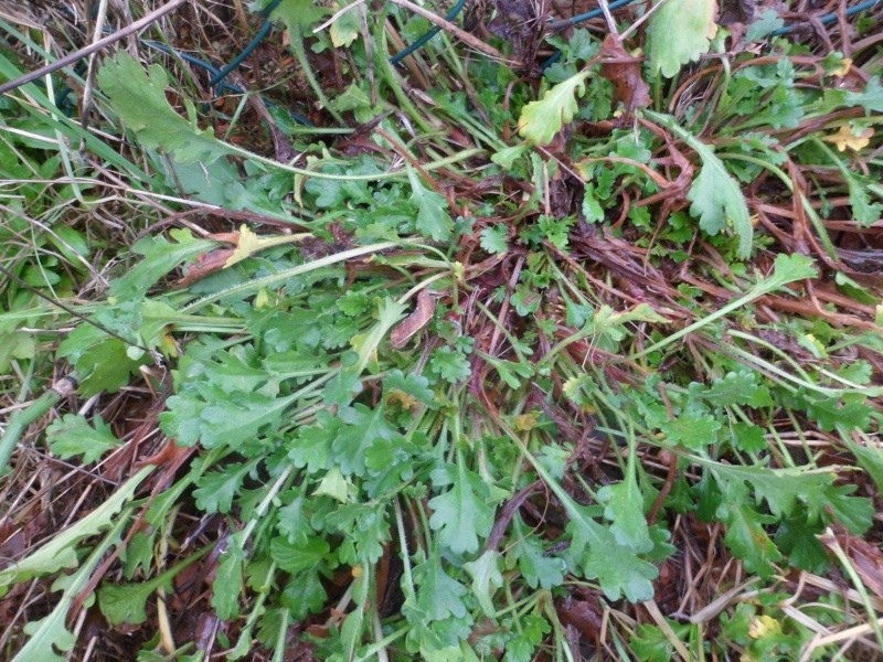 Identifier les rosettes basales Sam_2718