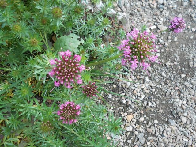 Crucianella stylosa (Phuopsis stylosa) Fleur189