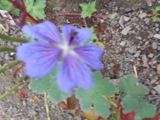 geranium vivace - Page 3 Fleurs25