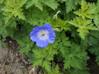 geranium vivace - Page 3 Fleurs27
