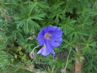 geranium vivace - Page 3 Fleurs28