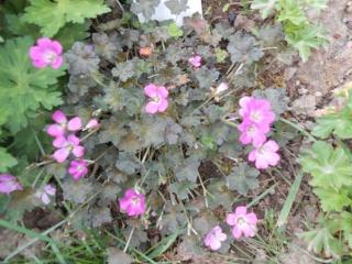 geranium vivace - Page 3 Fleurs30