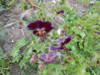geranium vivace - Page 3 Fleurs31