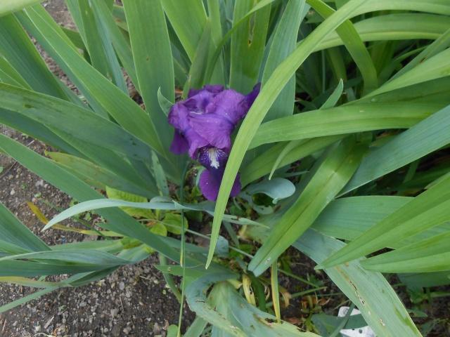 Iris : floraison 2014 - Page 6 Fleurs80