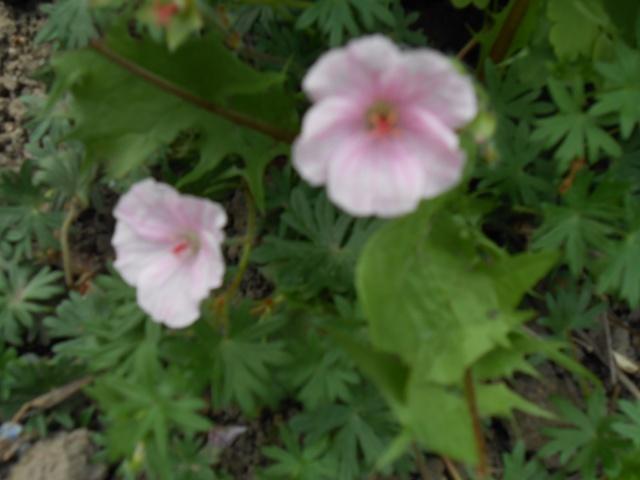 geranium vivace - Page 4 Fleurs99