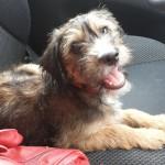 Pumiki, attachante, affectueuse et vive croisée griffon 9 mois, Colmar Busco-10