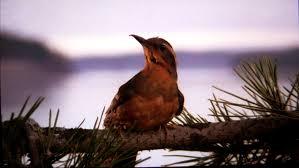 Twin Peaks - Page 2 Oiseau10