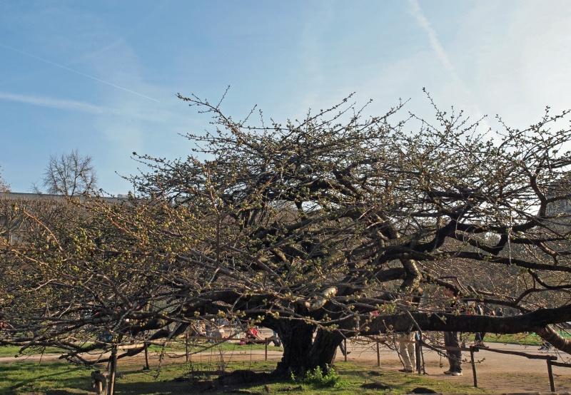 Arbre, printemps precoce-jardin des plantes Arbres10