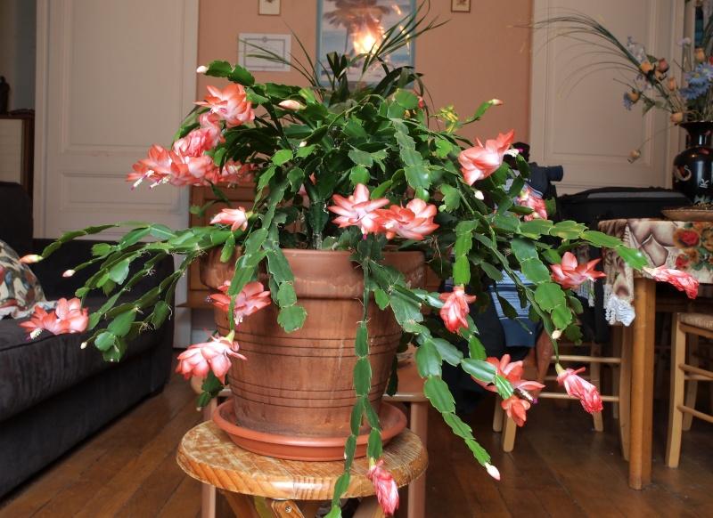 schlumbergera Fleurs10