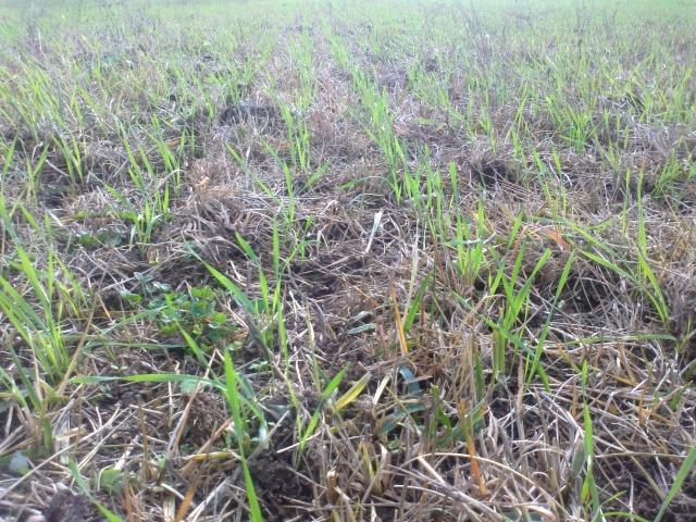 Blé en SD sur prairies: suivi des parcelles - Page 2 11102011