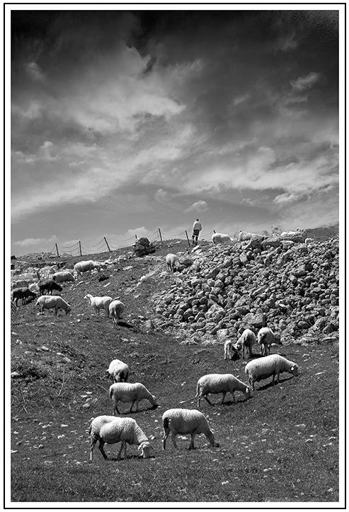 Les moutons et le Berger  Mouton10