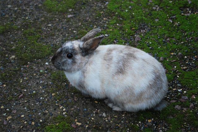 Urgent : recherche FA/Association pour un lapin errant Le-lap10