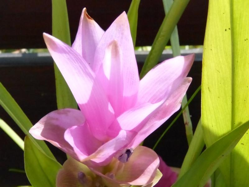 quelle est cette plante svp (Curcuma) P1020711