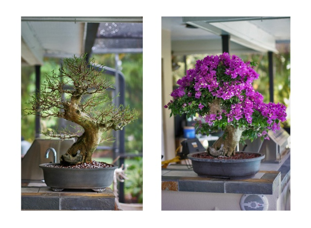Bougainvillea in progress With_a10