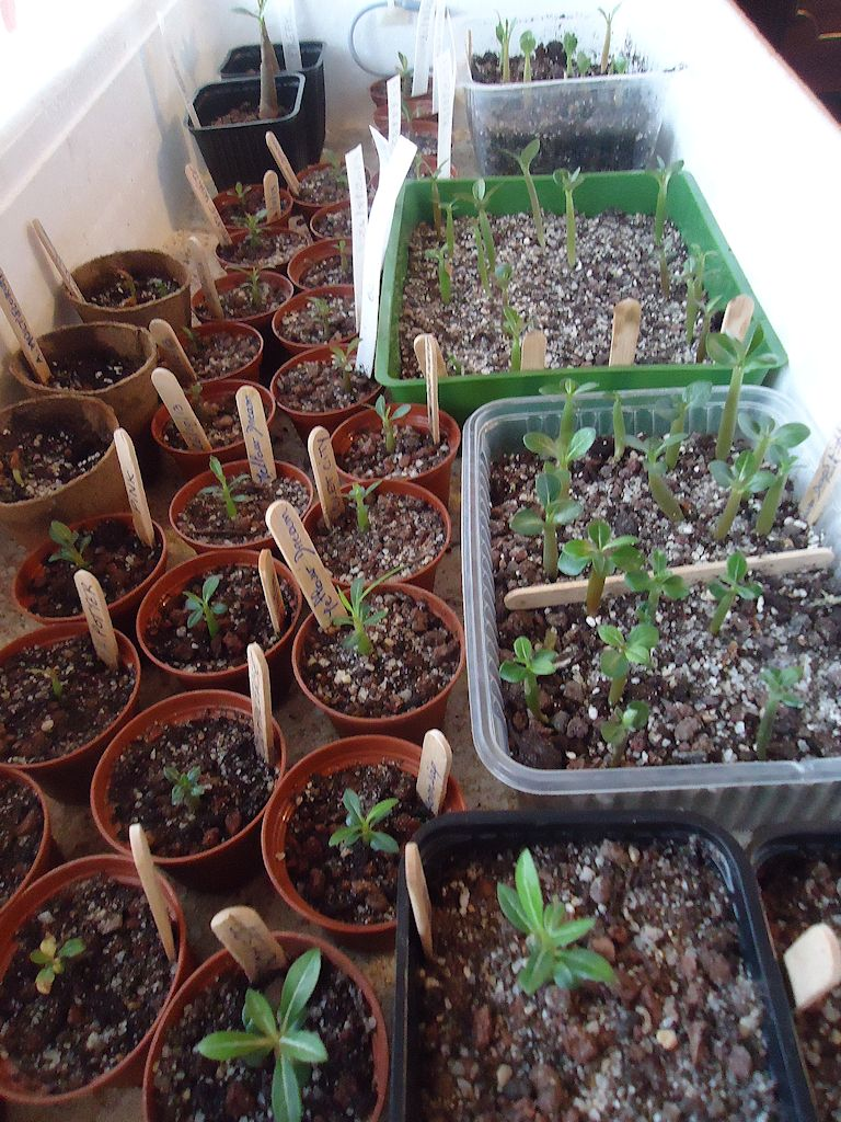 Adenium - collections - Page 2 Dsc02810