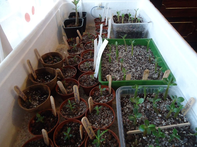 Adenium - collections - Page 2 Dsc02811