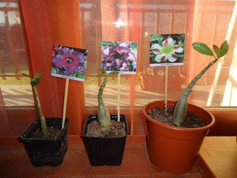 Adenium - collections - Page 2 Dsc02813