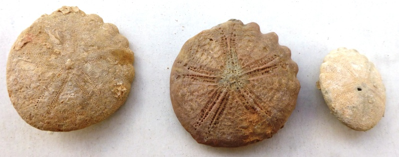 Echinoidea - Rotulidae cf. - † Oursins du Sud Marocain   4_mai_11