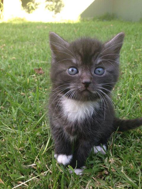Give away female kitten  Kitten11