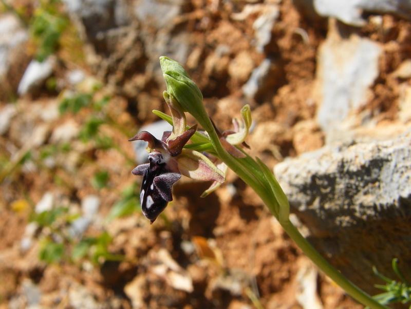 Le centre de la Crète du 3 au 6 avril 2014 21_oph10