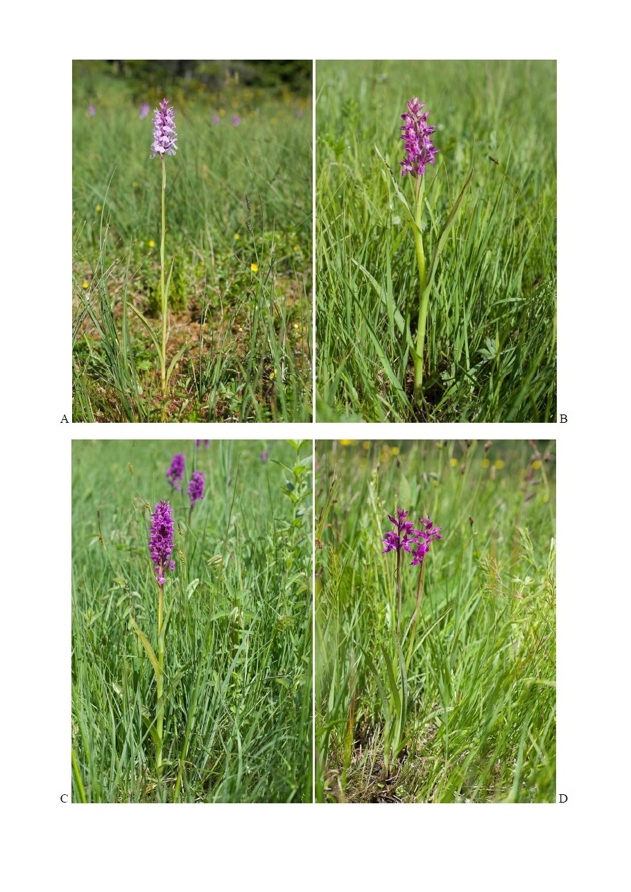 Essai de clé de détermination des Dactylorhiza des Alpes 310