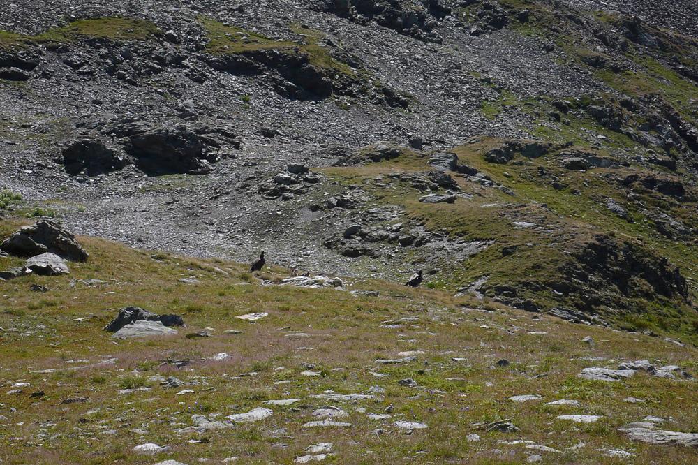 Gypaètes de Vanoise L1200111