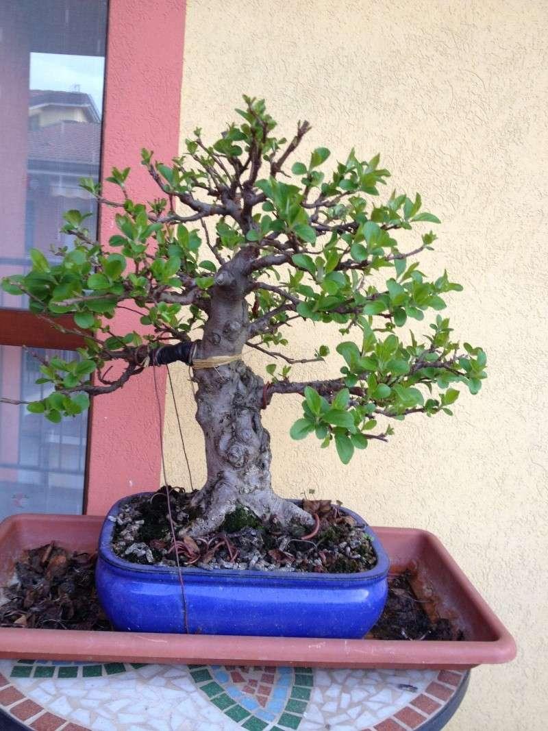 Piegatura di un grosso ramo al Bonsai Club Laudense - Pagina 2 Img_0710
