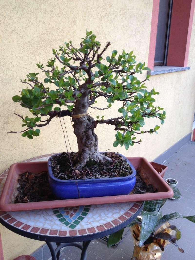 Piegatura di un grosso ramo al Bonsai Club Laudense - Pagina 2 Img_0711