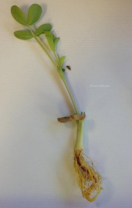 Culture de la cacahuète -  arachide - cacahouète J711