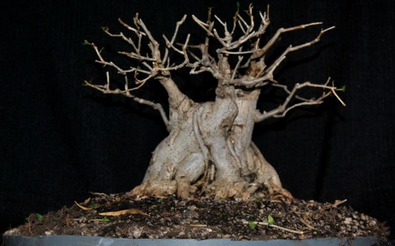 31 year old Ficus burkei progression. Burkei11