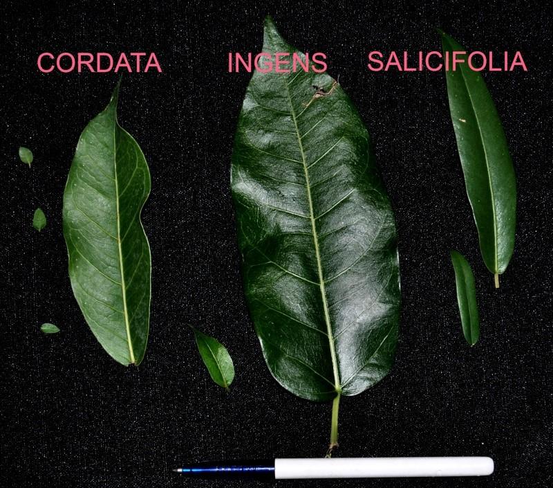 31 year old Ficus burkei progression. Ficus10