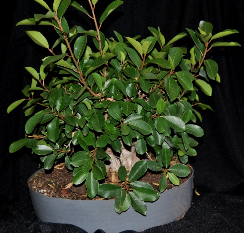 31 year old Ficus burkei progression. Novemb10