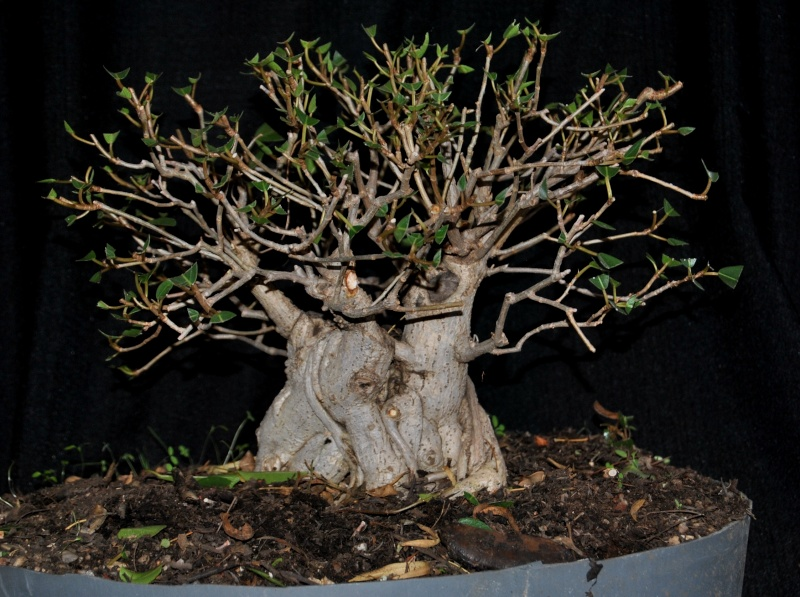31 year old Ficus burkei progression. Novemb11