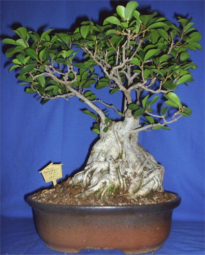 31 year old Ficus burkei progression. Octobe11
