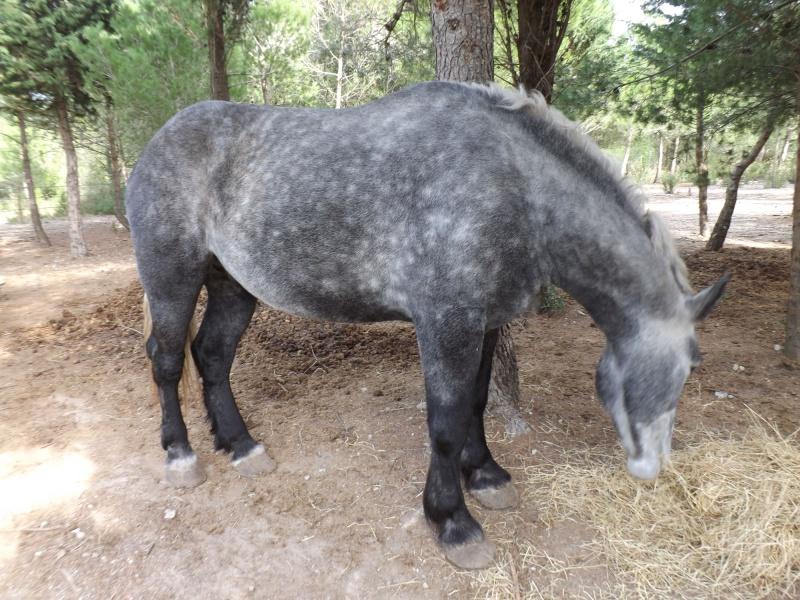 AUGUST - Percheron X Boulonnais né en 2010 - adopté en janvier 2011 par Marianne et Philippe - Page 2 August11