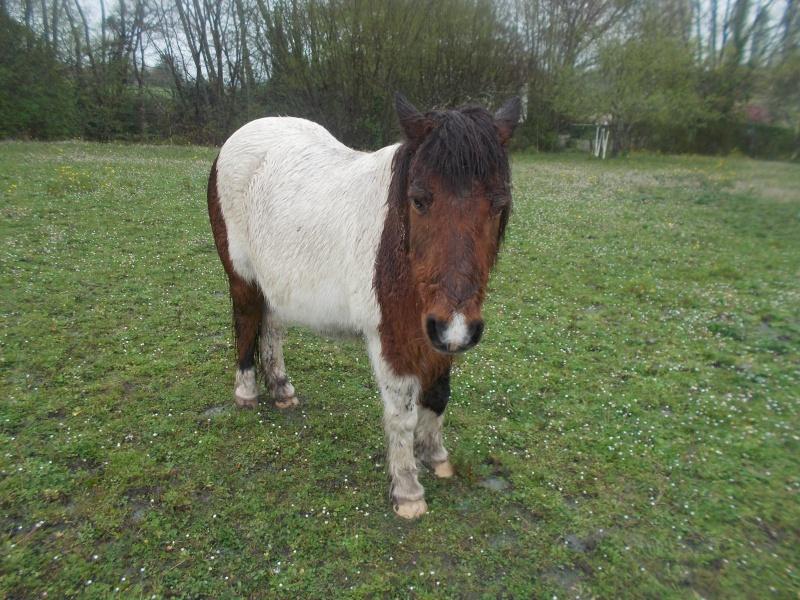 PIPO - Poney OI typé Shetland né en 1990 - adopté en septembre 2009 par Justine et Janine Pipo1010