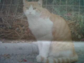 1 chat mâle, roux et blanc, 18 mois, Var Calin_10
